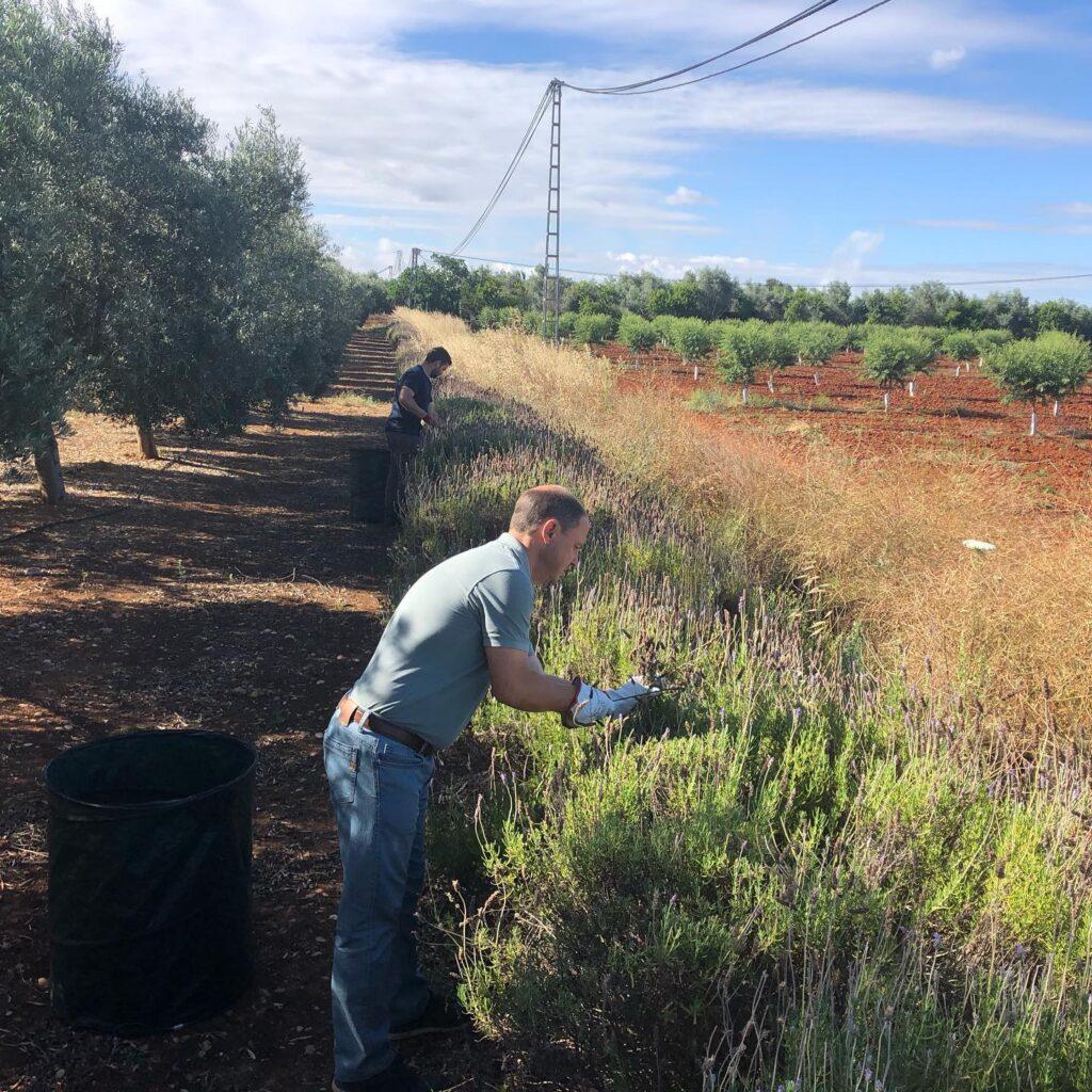 Recolección de semillas de Lavanda - CANTUESO - Natural Seeds