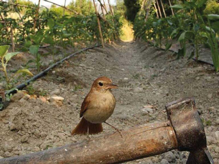 Atracción de Avifauna - CANTUESO - Natural Seeds