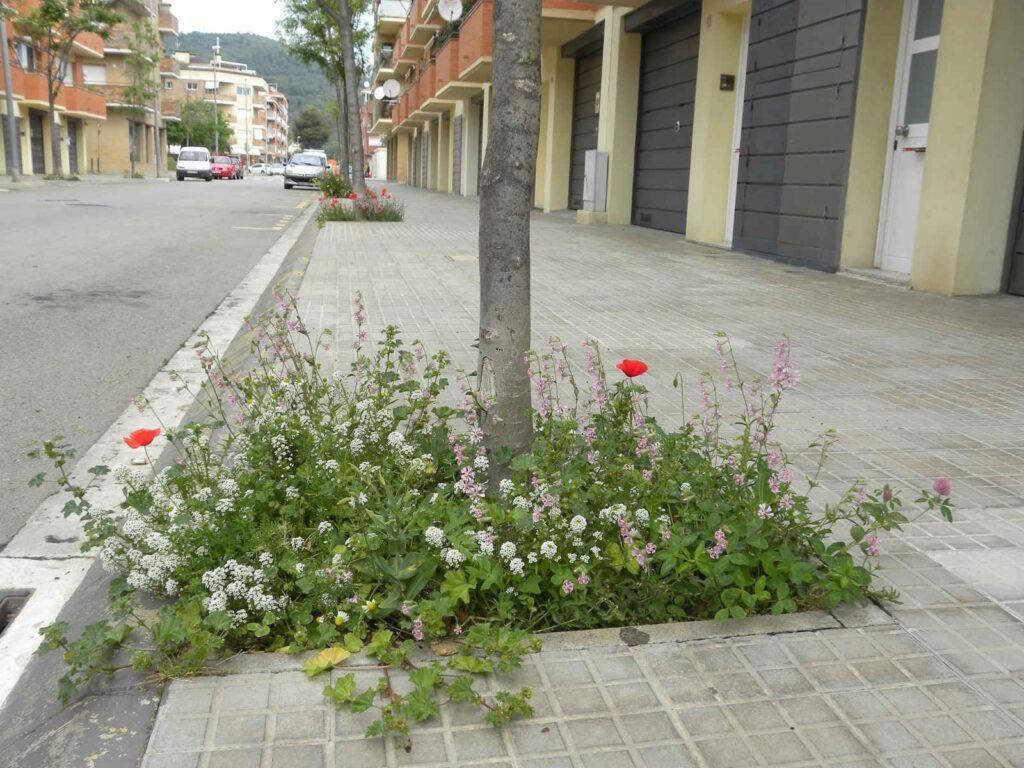 Ayuntamiento de Barcelona - CANTUESO - Natural Seeds