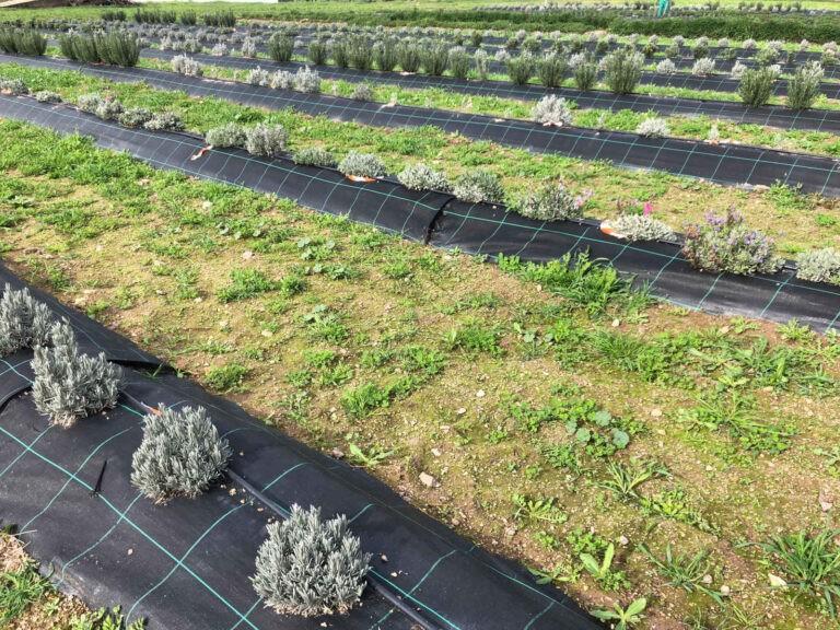 Diputación de Córdoba - CANTUESO - Natural Seeds