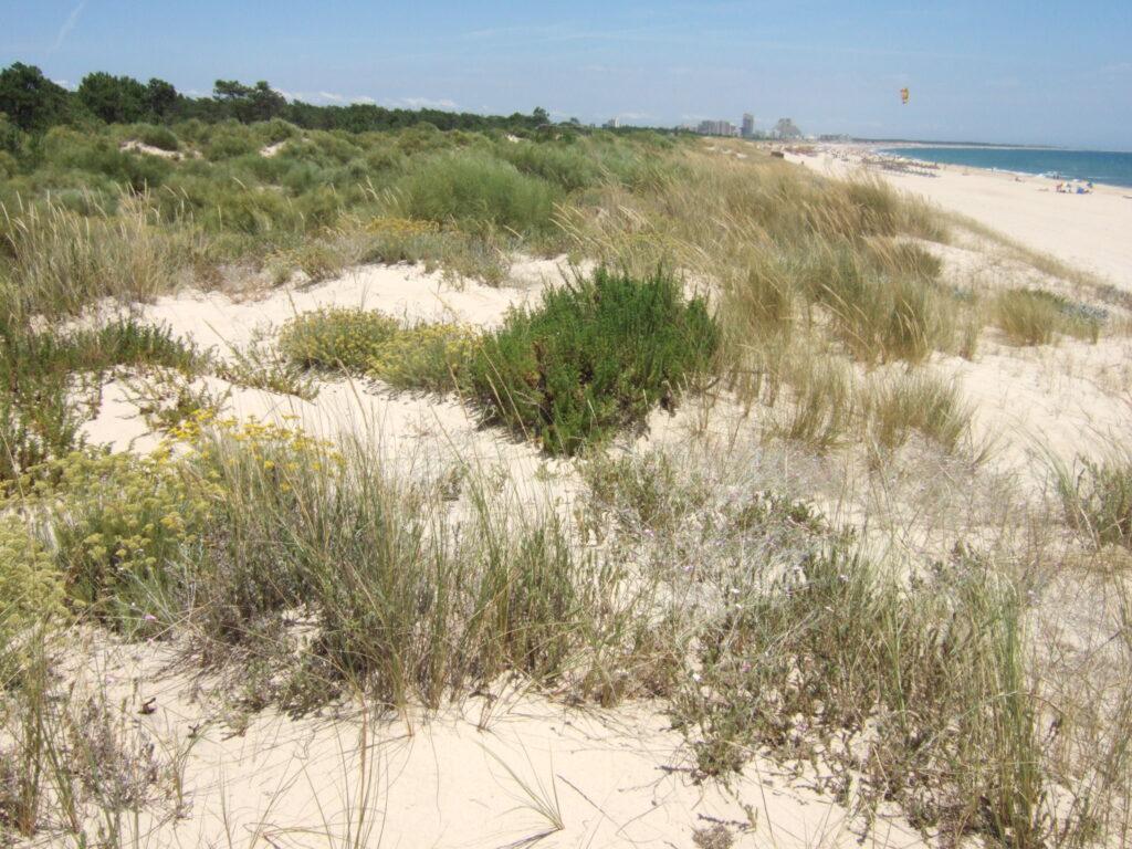 Paisaje dunar - CANTUESO - Natural Seeds