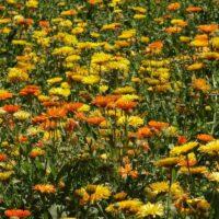 Foto de Jardín de Flores Amarillas y Naranjas - CANTUESO - Natural Seeds