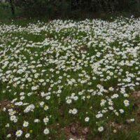 Foto de Jardín de Flores Blancas - CANTUESO - Natural Seeds