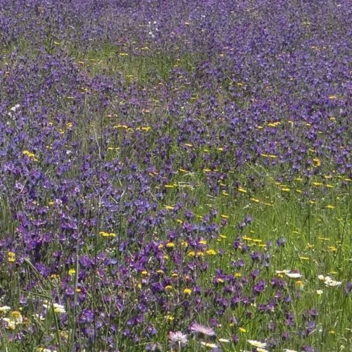 Foto de Jardín de Flores Moradas y Azules - CANTUESO - Natural Seeds