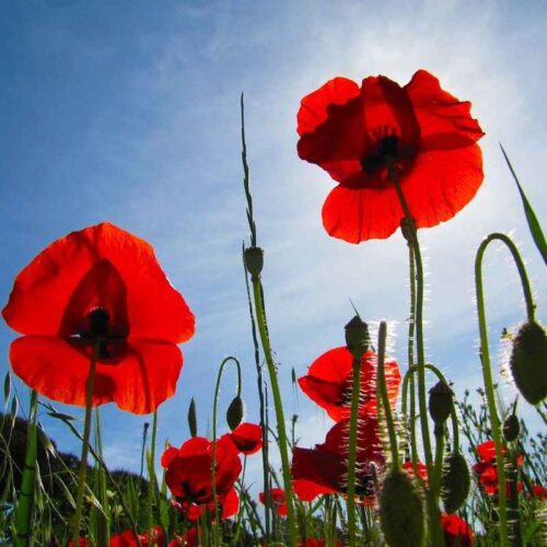 Foto de Jardín de Flores Rojas - CANTUESO - Natural Seeds