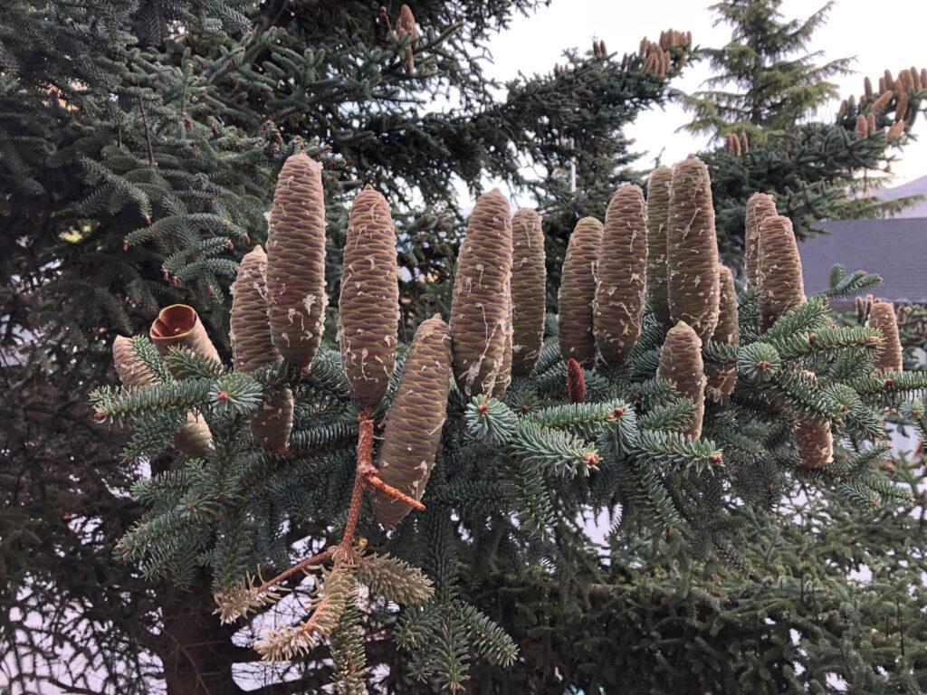 Material Forestal de Reproducción - CANTUESO - Natural Seeds