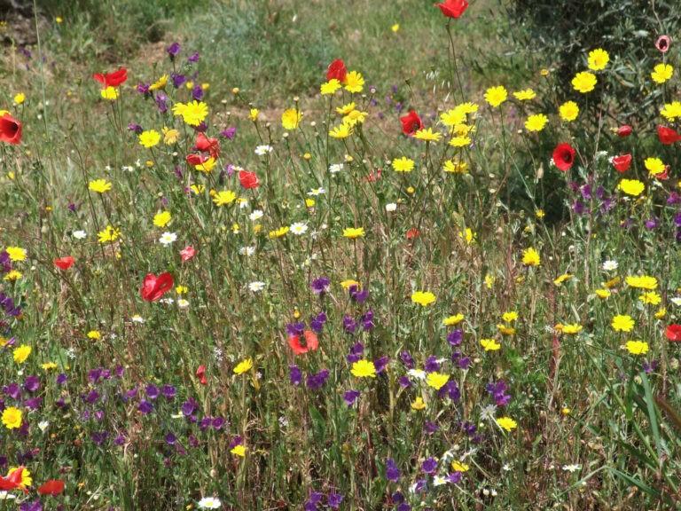 Pradera con Flores Mediterráneas - CANTUESO - Natural Seeds