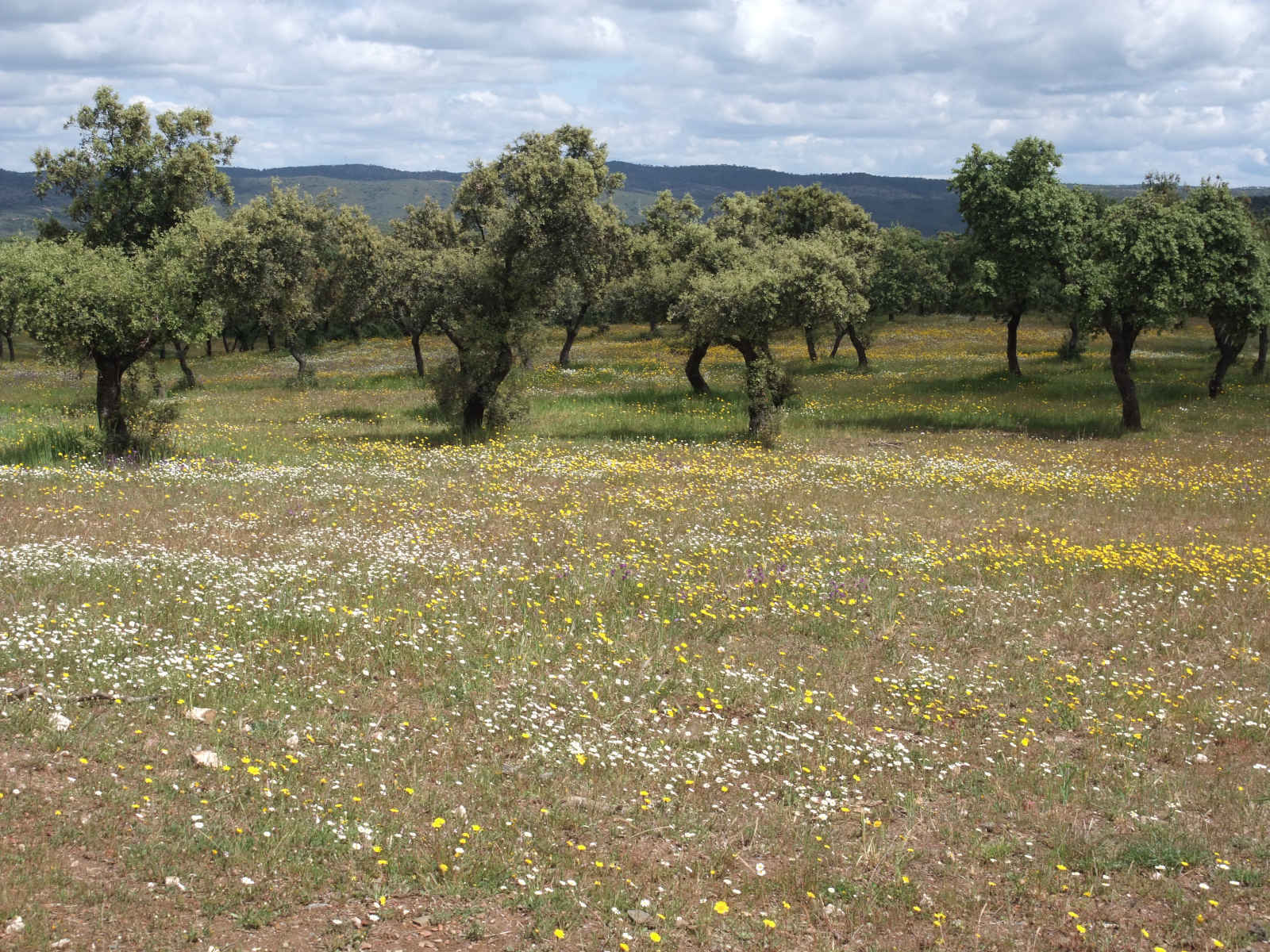 Pradera en Zona de Dehesa - CANTUESO - Natural Seeds