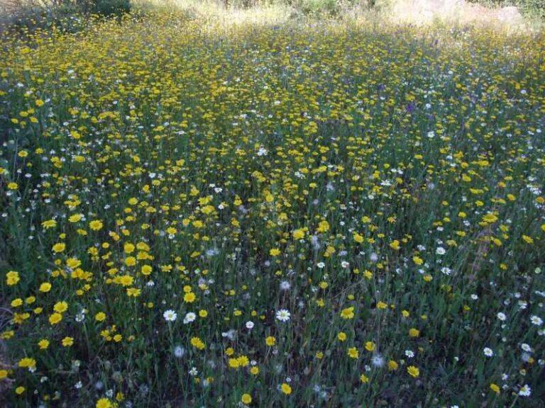 Pradera de Flores Atlánticas - CANTUESO - Natural Seeds