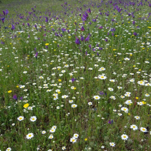 Producto Pradera de Flores Mediterráneas - CANTUESO - Natural Seeds