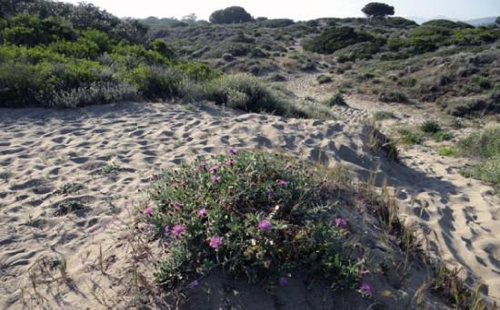 Zonas Arenosas - CANTUESO - Natural Seeds